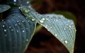 funkia_vattendroppe