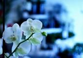 Orchidea.erikamarcusson